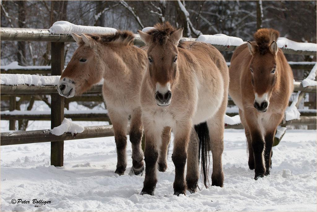 Mongolian horses - January 2017