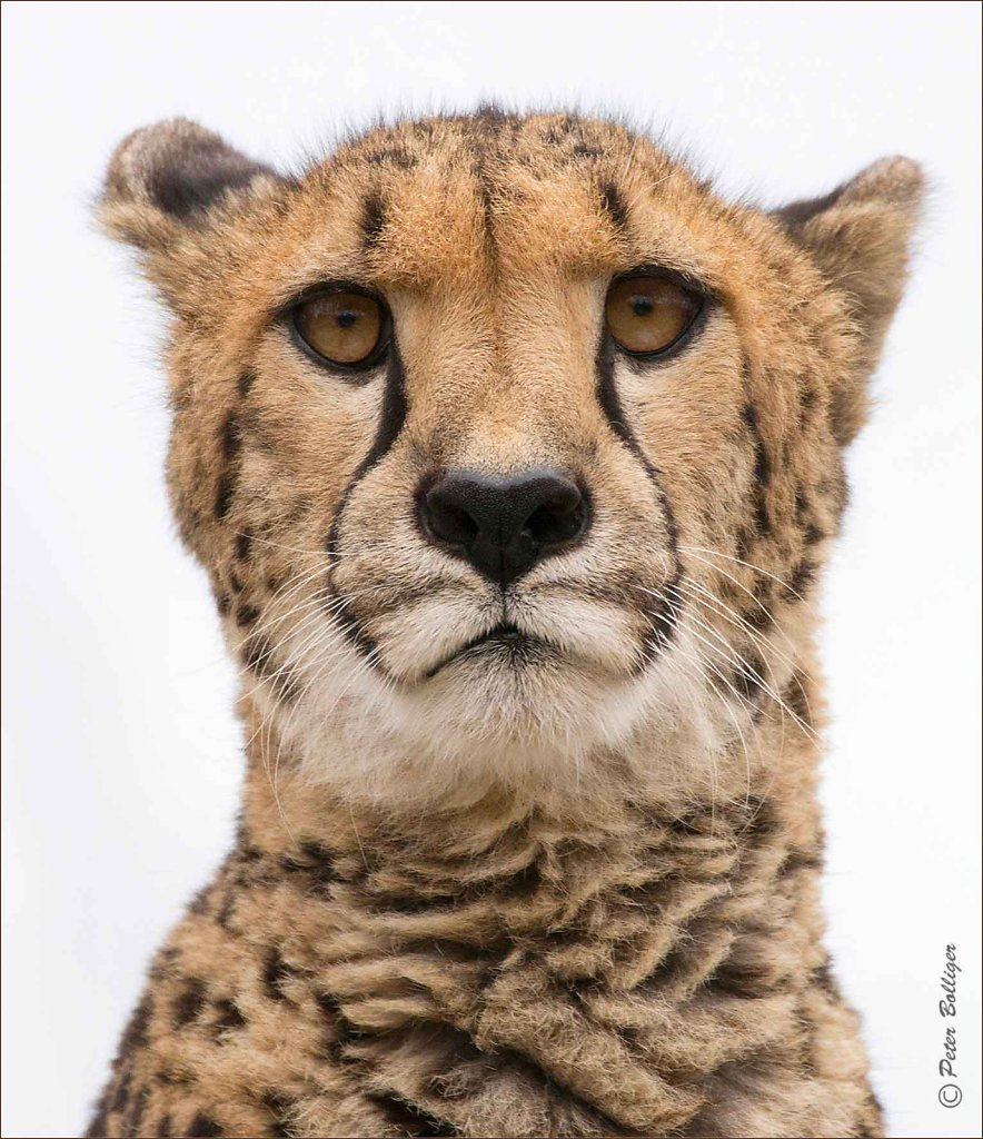Cheetah - February 2017