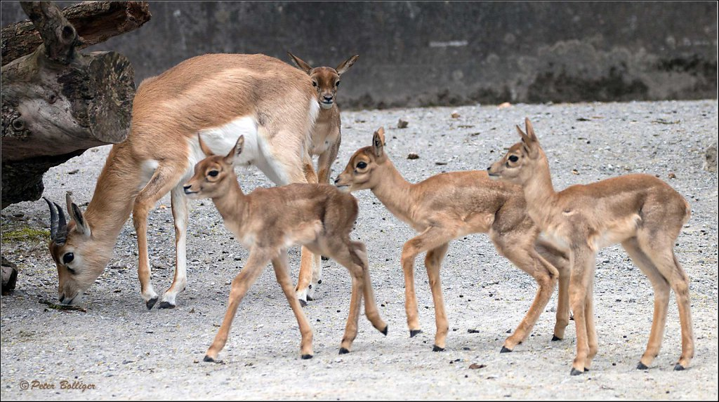 Antelopes and gazelles