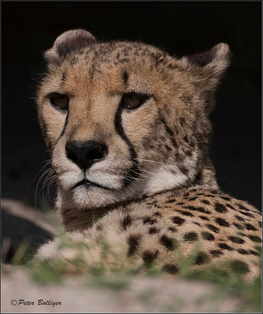 Cheetah/Gepard