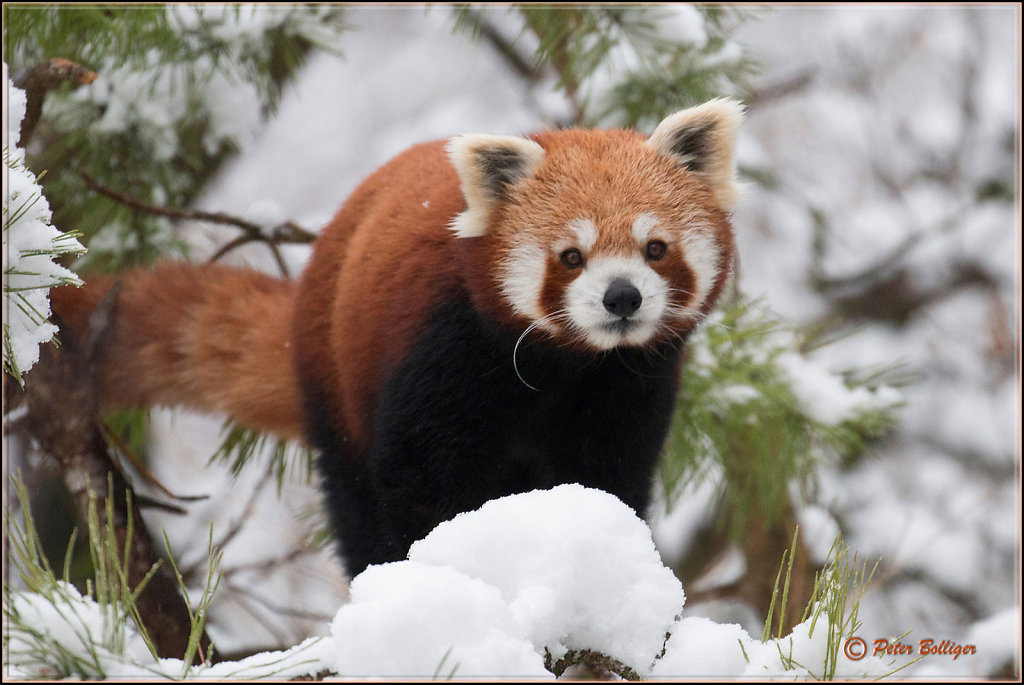 Little Panda enjoying Winter