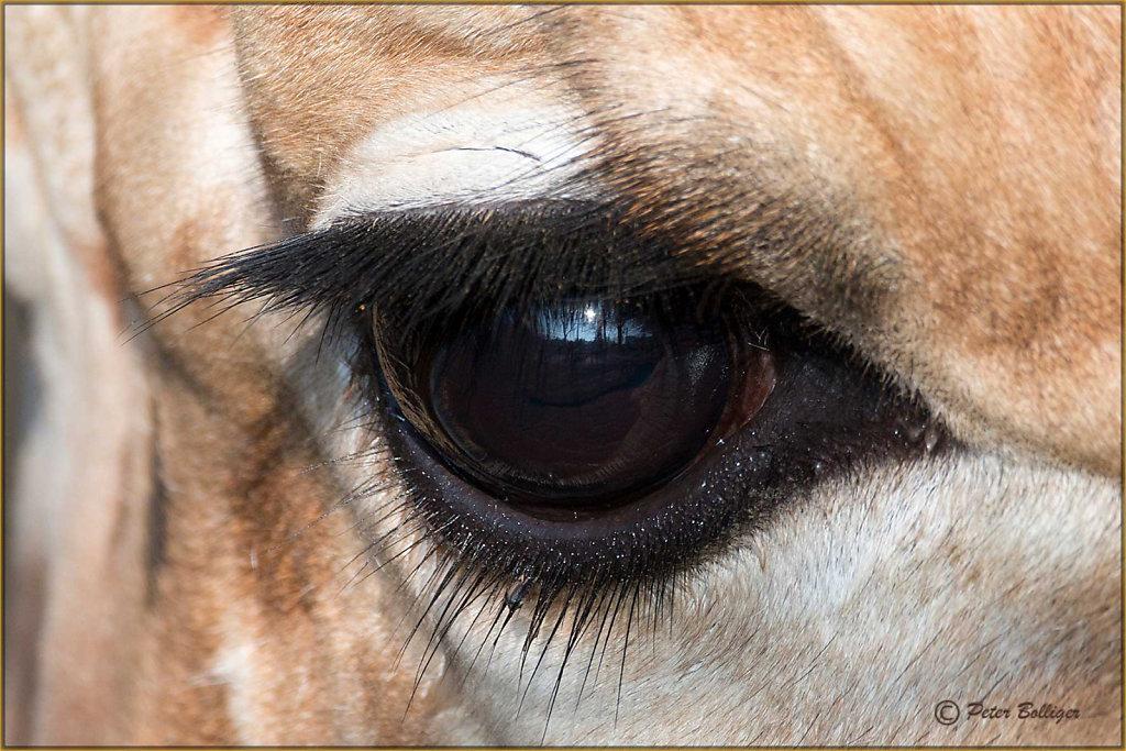 Eye lashes of a giraffe