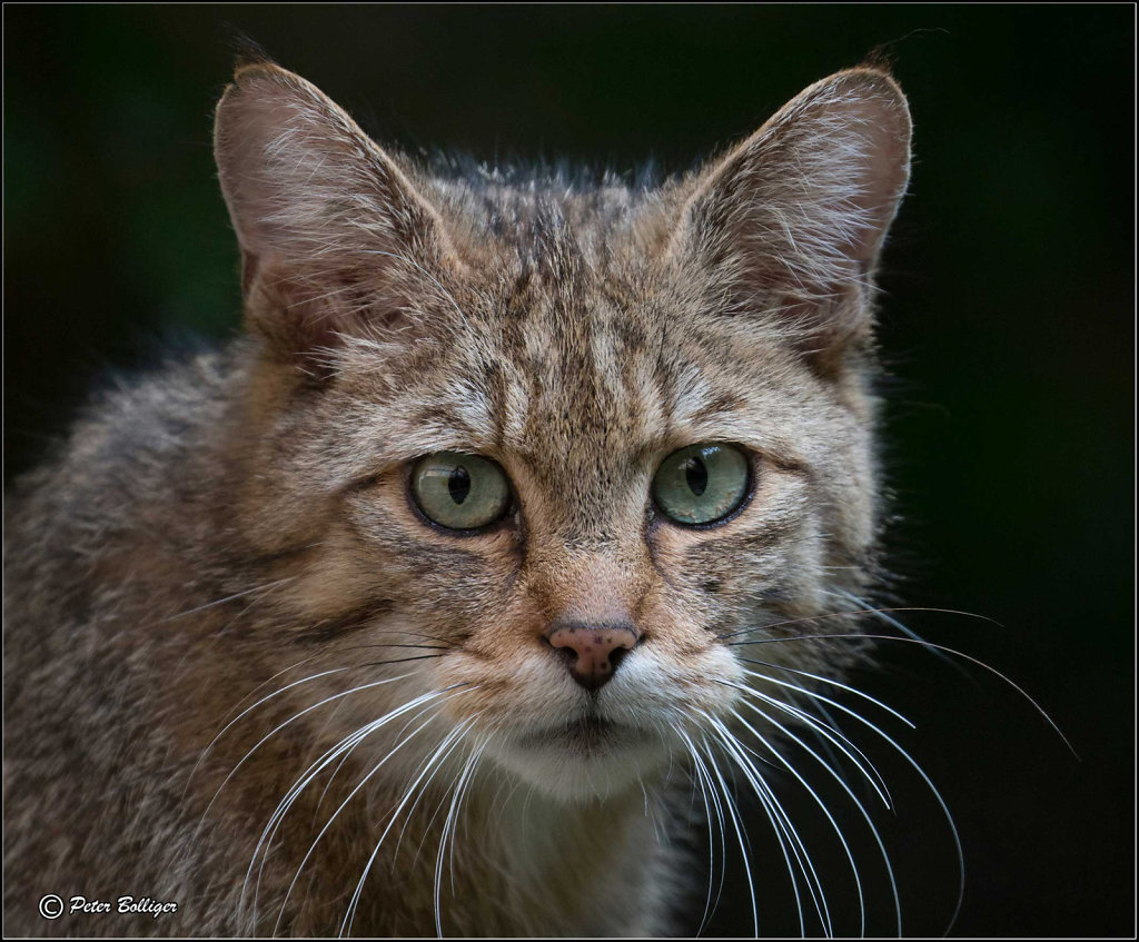 Wild cat female