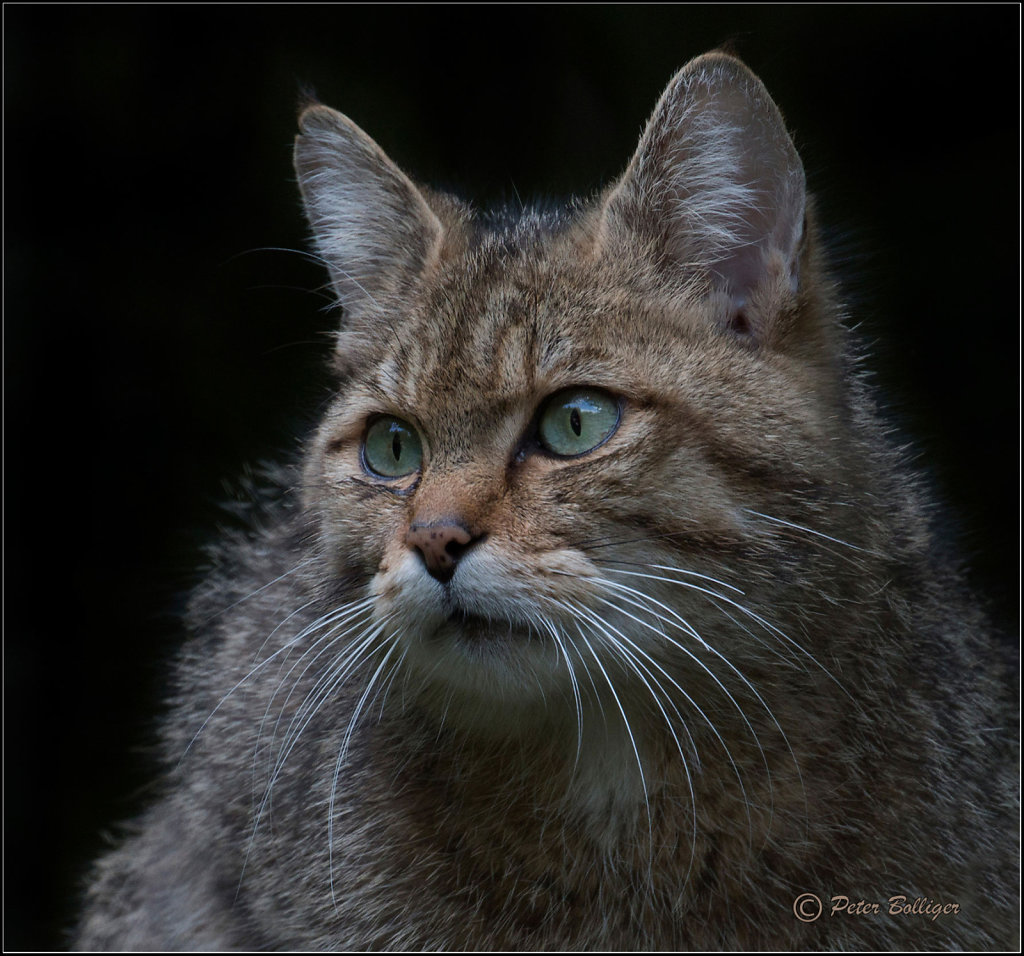 Wild cat male
