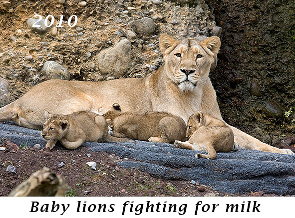 1009-Baby-lions-fighting-for-milk.jpg