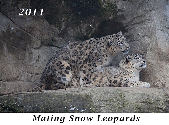 1104-Mating-Snow-Leopards.jpg