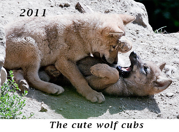1105-The-cute-wolf-cubs.jpg