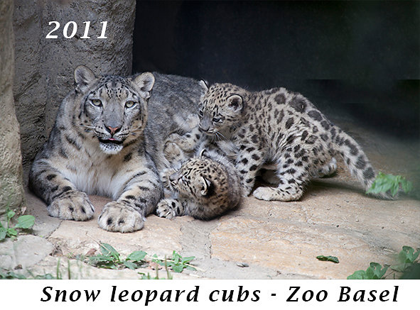 1106-Snow-leopard-cubs-zoo-Basel.jpg