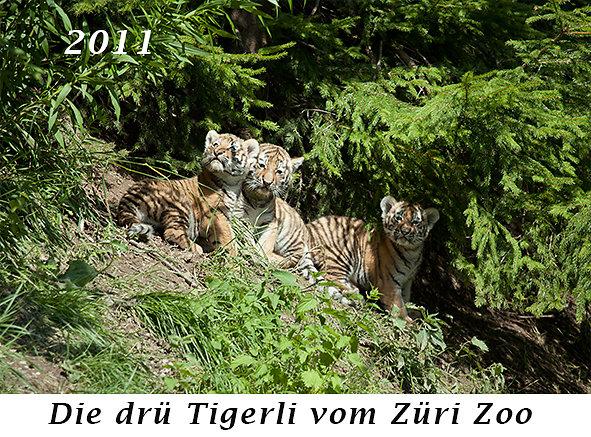 1107-die-drue-Tigerli-vom-Zueri-Zoo.jpg