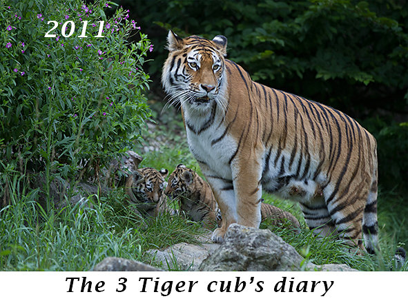 1108-The-3-Tiger-cubs-diary.jpg