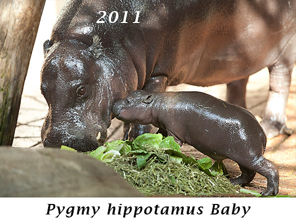 1109-Pygmy-hippotamus-Baby.jpg