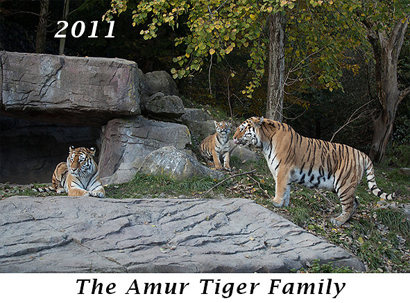 1110-The-Amur-Tiger-family.jpg