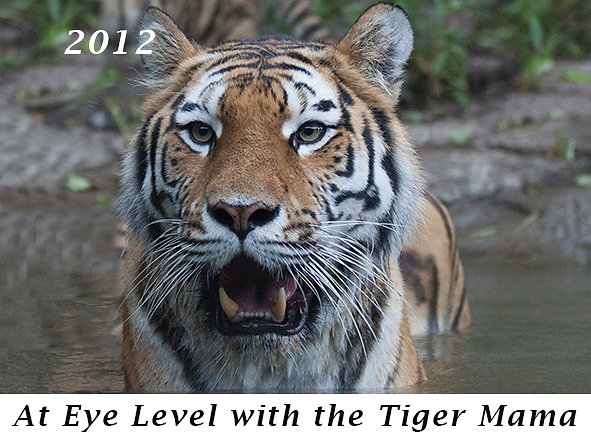 1204-At-Eye-Level-with-the-Tiger-Mama.jpg