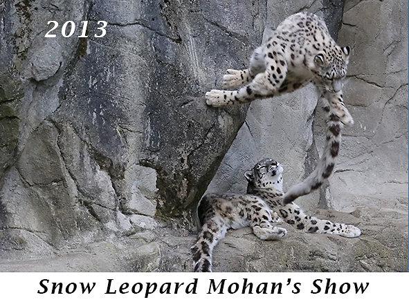 1307-Snow-Leopard-Mohans-Show.jpg