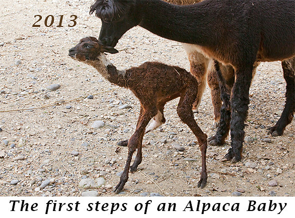 1309-The-first-steps-of-an-Alpaca-Baby.jpg