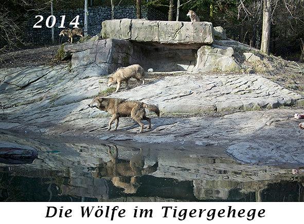 1402-Die-Woelfe-im-Tigergehege.jpg