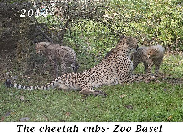 1410-The-cheetah-cubs-Zoo-Basel.jpg
