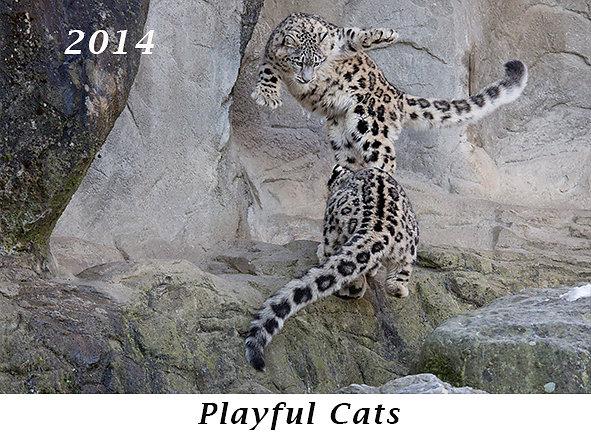 141125-Playful-Cats.jpg