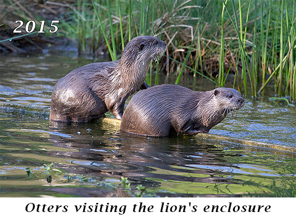 150329-Otters-visiting-the-lions-enclosure.jpg