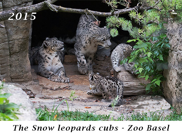 150818-The-Snow-leopards-cubs-Zoo-Basel.jpg