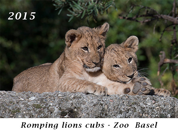 150820-Romping-lions-cubs-Zoo-Basel.jpg