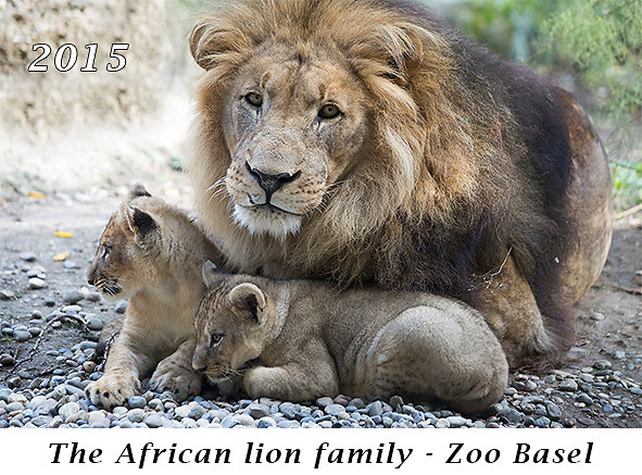 150830-The-African-lion-family-Zoo-Basel.jpg