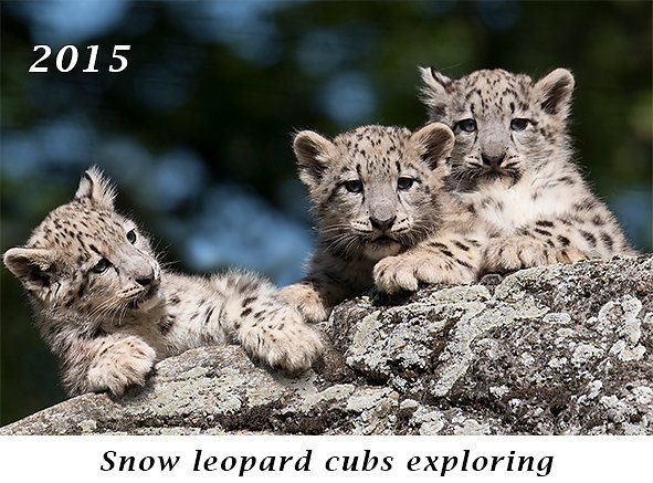 150905-Snow-leopard-cubs-discover-the-surrounding.jpg